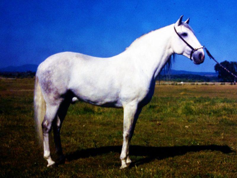 Criador: Arq. Arsenio Raposo Cordeiro DESEJO (Pejosa x Venturoso III) Medalla de Oro – Feria Nacional de Agricultura ´87 Medalla de Oro – Lisboa ´88 Medalla de plata – Feria Nacional do Cavalo ´88
