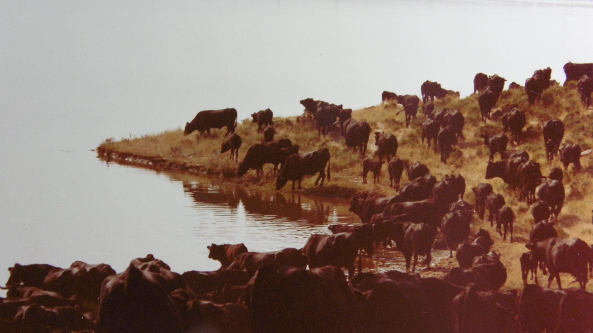 Avileña Negra Ibérica