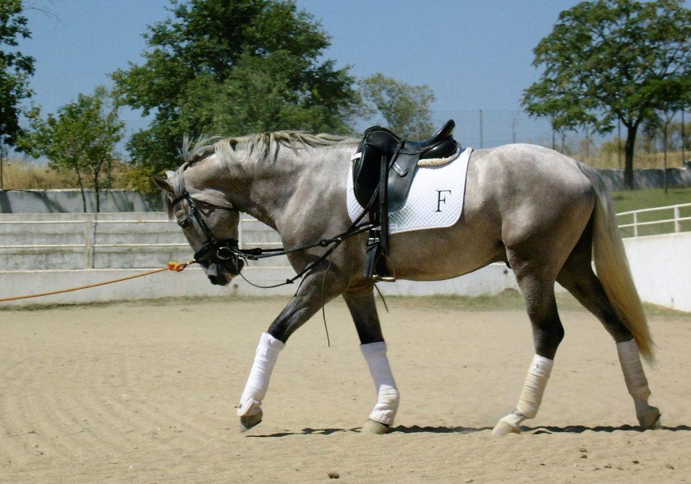 02_caballos_lusitanos_domados_en_venta(2)
